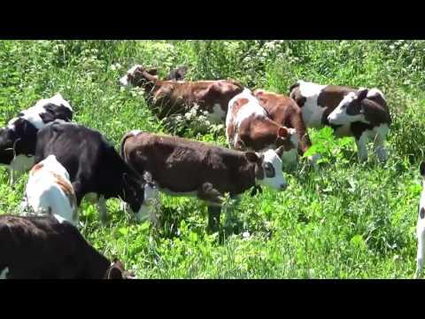 Домашние телята и про бычков видео