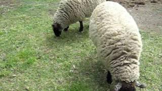 Sheep Dog Training Pt1