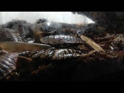 Тропические тараканы