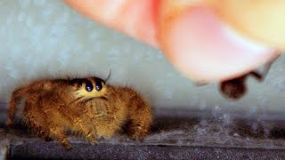 Jumping Spiders in Action - In 4K Slow Motion [ Outtakes and Pre Lighter Clips ]