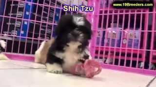 Shih Tzu, Puppies, For, Sale, In, Louisville,county, Kentucky, Ky,  Richmond, Florence, Georgetown,