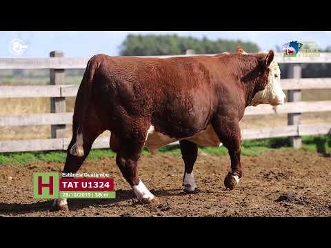 Touro U1324 - Estância Guatambu
