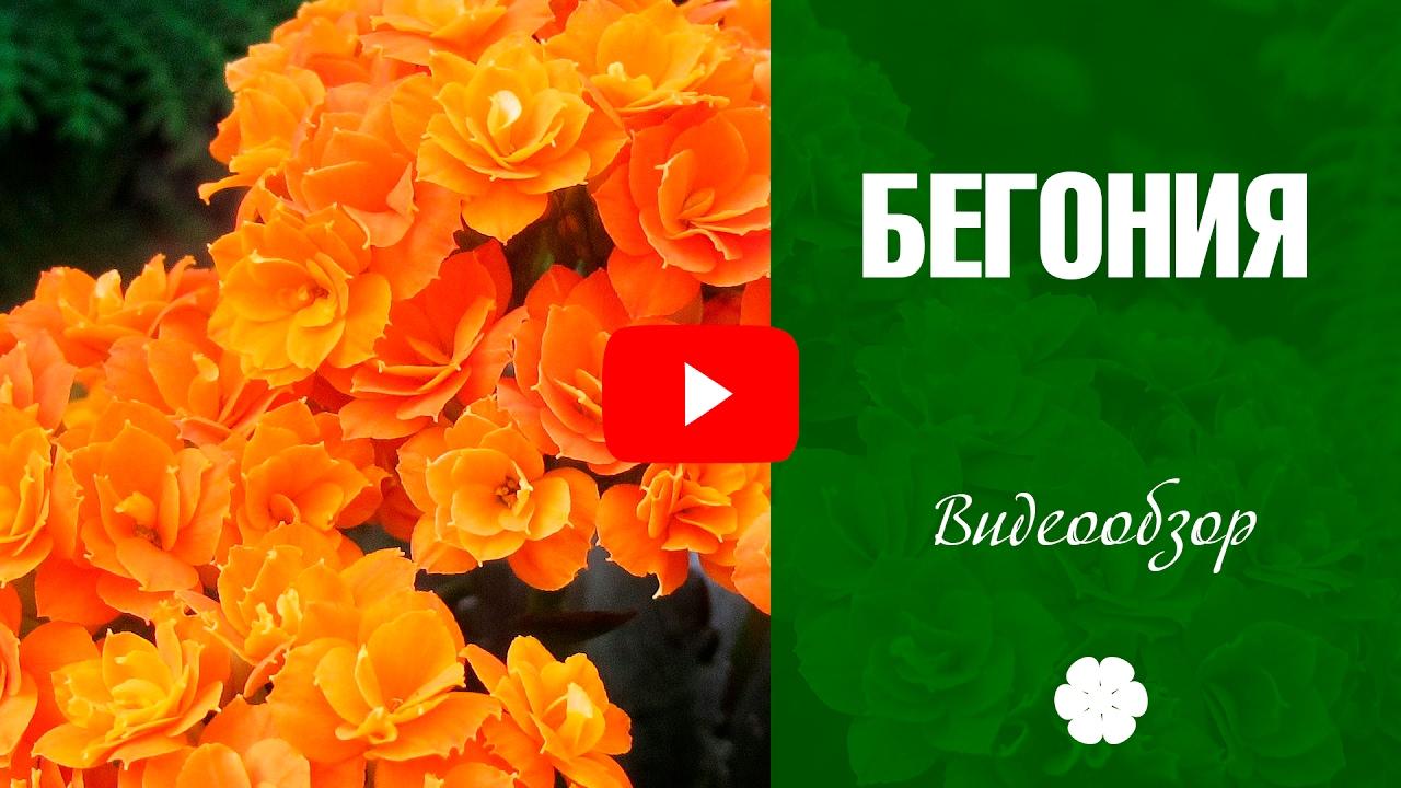 Бегония вечноцветущая в вашем саду / Begonia blossom forever in .