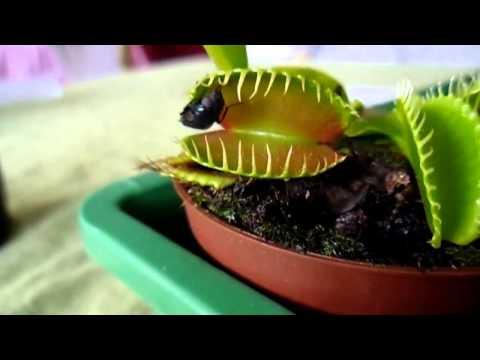 Хищное растение Дионея Венерина мухоловка кушает.