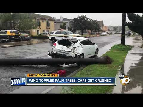 Wind topples San Diego palm trees, worrying arborists