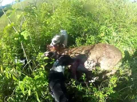 rusa deer hunting 2014