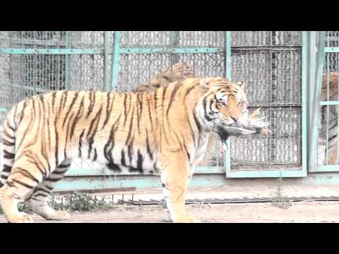 Harbin's Famous Tiger zoo (LIVE FEEDING Chickens Thrown From a Car)