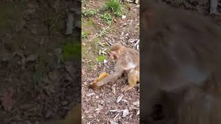 Monkey video, Crazy monkey mother