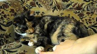 Трехцветная кошка удачи черепахового окраса - смесь обычного уличного кота с девон рексом