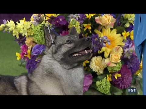 Westminster Elkhound shows displacement behaviors signaling stress