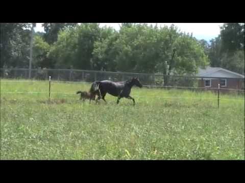 Azad Caspian Foal Born 8-9-2009