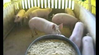 produccion de cerdos en familia- parte 1 thumbnail