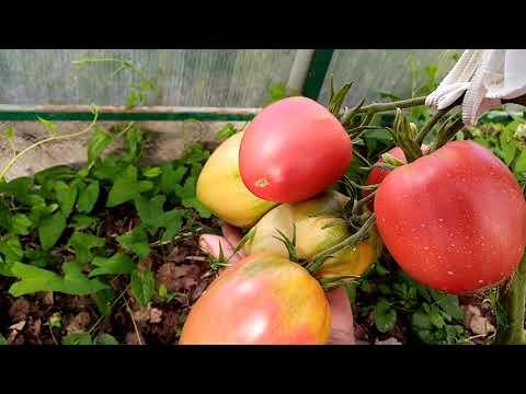 Обзор сортов томатов в теплице. 2020гЧасть 1
