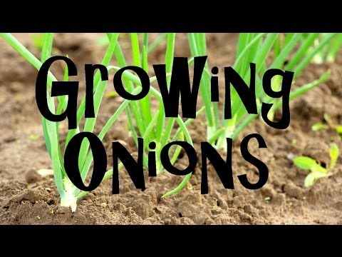Guide for Growing Onions at Home----On Fow24news.com