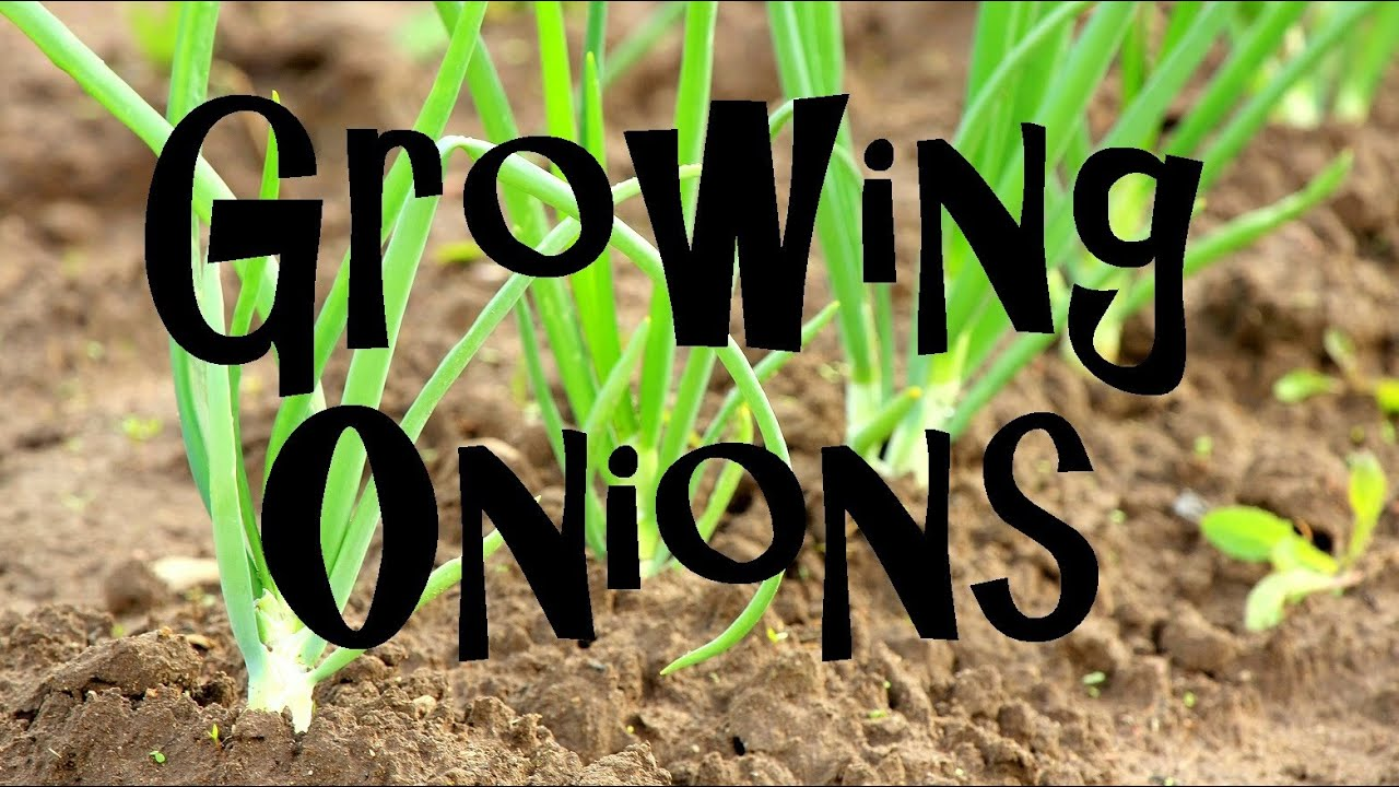How To Plant Grow Harvest Onions From Start Finish Youtube Tomato Plants Potatoes Grafted Diagram Click Image See