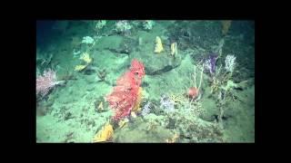 Hidden reefs of the deep sea | Laura Robinson | TEDxBrussels