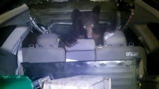 Canada, apre il portabagagli e trova una sorpresa: nell'auto c'è un orso