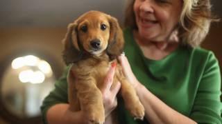 Red Longhair Dachshund Puppy
