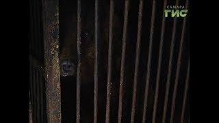 Спасли всей Самарой. Четырех медведей бросил дрессировщик. Что ждет животных?