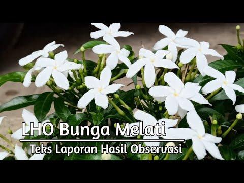 Teks Laporan Hasil Observasi Bunga Melati Smpn 1kk Youtube