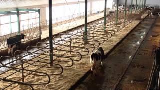Évaluation du confort d'un groupe de vaches