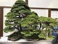 Bonsai at the WBC- Japan #7