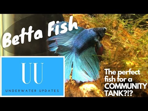 Betta Fish!!! CARE, TEMPERATURE, TANK SIZE AND MORE!!!