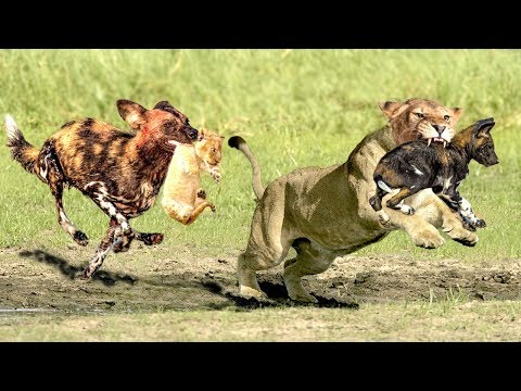 OMG!The God help Mother Lion destroy 16 WildDogs save Lion Cub - Epic Battle Of Lion Vs Wild Dogs