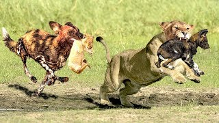 The God help Mother Lion destroy 16 Wild Dogs save Lion Cub - Epic Battle Of Lion Vs Wild Dogs