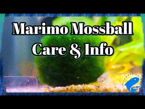 Marimo Moss Ball Care & Information - Aegagropila linnaei