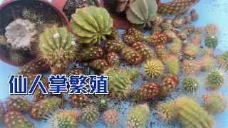 【威霖TV】仙人掌繁殖 拔光就對了Cactus propagate