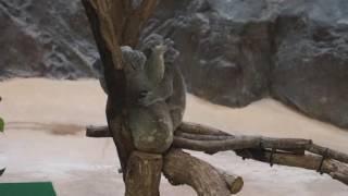 2016年7月5日 金沢動物園 コアラさん達のランチタイム。1才にな...