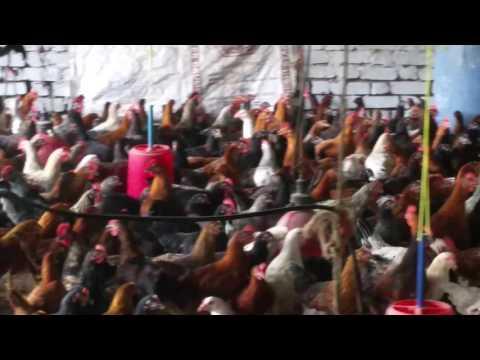 Shaikh poultry