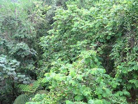 Rainforest Tram Ride St. Lucia - Video 5  Canopy Layer  & Rainforest Tram Ride St. Lucia - Video 5