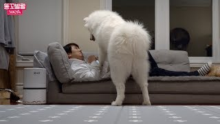 Samoyed Puppy's Reaction When She Lost her Favorite Seat to Daddy