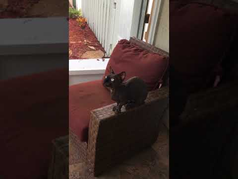 BamBob Sphynx CAT CHIRPING at a Squirrel! TOO FUNNY!!!