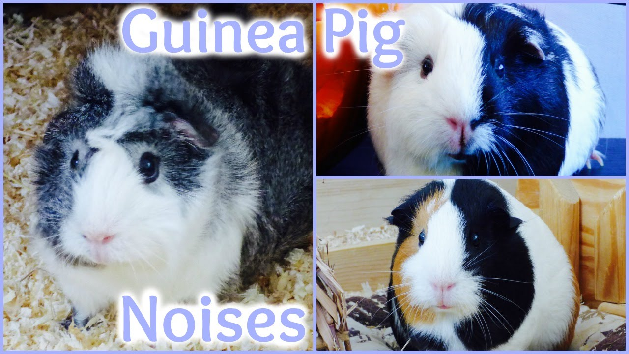 Guinea Pig Sounds And What They Mean - YouTube