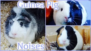 Guinea Pig Noises And What They Mean