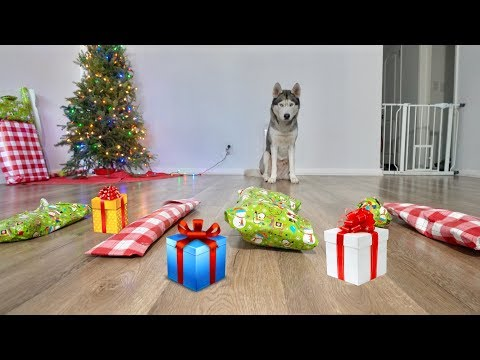 Husky Picks Out His Own Christmas Gifts and Opens Them!
