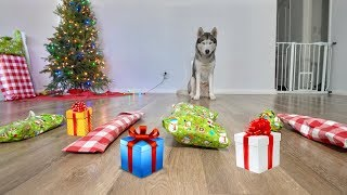 husky-picks-out-his-own-christmas-gifts-and-opens-them