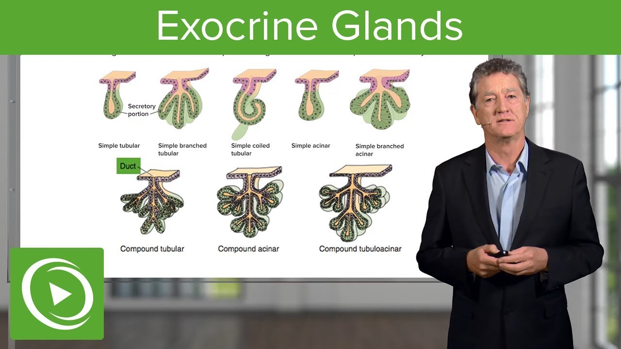 Exocrine Glands – Histology | Lecturio