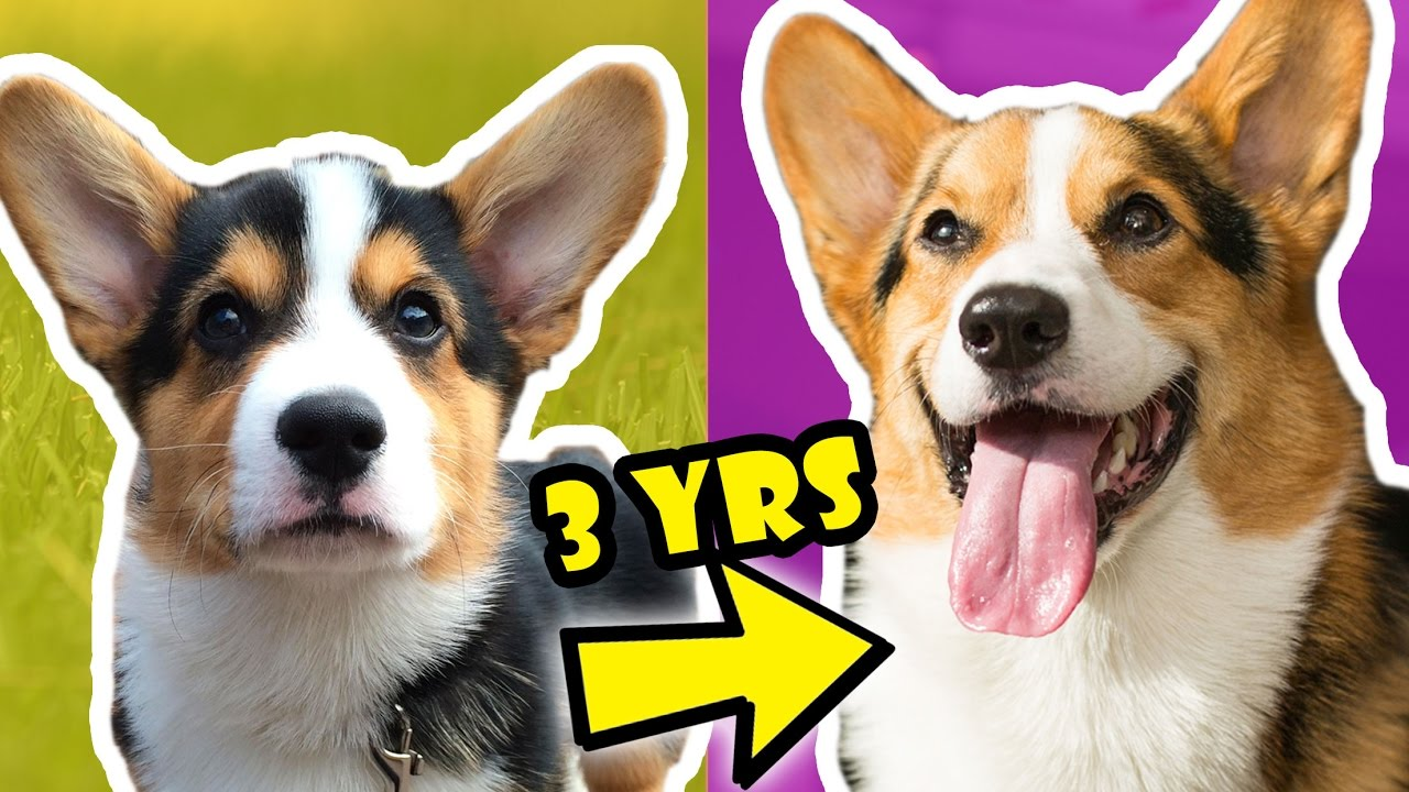 corgi-puppy-vs-adult-dog-comparison-year-3-life-after-college-ep-536