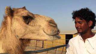The Animal House on Dubai Eye 103.8 - Safran the tea drinking camel
