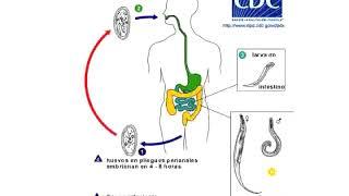 ki az élelmiszer helmintos szennyeződésének forrása hogyan kezeljük a parazitákat a bél gyomorában