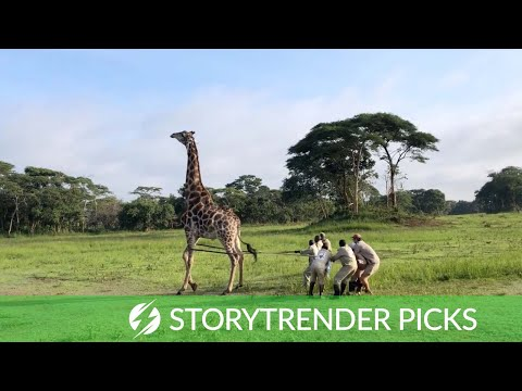 Rare Giraffe Rescued And Freed