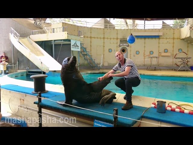 Морские львы на шоу в зоопарке Рапперсвиля (Sea lions show at Rapperswil Zoo )