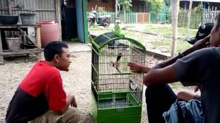 melatih burung cendet