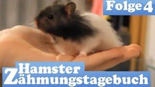 Hamster Zähmungstagebuch: Auf die Hand und hoch hinaus! Folge 4