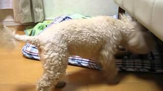 動物愛護センターから引き出したMIX小型犬・・・怖がりな女の子で現在の体...