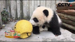 [2019过年啦] 熊猫过大年之畅快中国年:球一定要挑选颜色鲜艳的,听说颜色鲜艳的味道好!  CCTV少儿